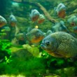 Piranha fish — Stock Photo