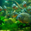 Piranhfish — Stock Photo #32065269