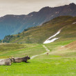 Cows in an Alpine meadow — Stock Photo