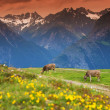 Stock Photo: Cows in an Alpine meadow