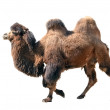 Bactrian camel isolated on white — Stock Photo