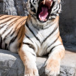 Yawning tiger — Stock Photo #16365061