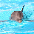 Swimming dolphin - Stock Photo