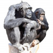 Female chimpanzee with a baby - Stock Photo