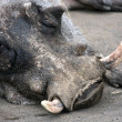 Warthog - big wild African pig — Stock Photo