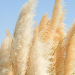 Cortaderia - a perennial herb — Stock Photo