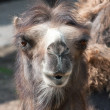Portrait of bactrian camel — Stock Photo