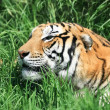 Tiger in the grass - Stock Photo