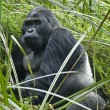 Silverback Eastern Lowland Gorilla in Wildlife — Stock Photo