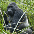 Постер, плакат: Silverback Eastern Lowland Gorilla in Wildlife