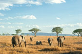 Herd of Elephants in the dry plains of Serengeti, Tanzania — Stock Photo