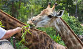 Giraffe of eating vegetables — Stock Photo