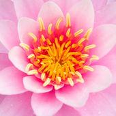 Lotus-Blüten oder Seerose Blumen blühen — Stockfoto