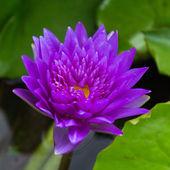 莲花盛开或水中百合鲜花盛开 — 图库照片