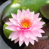 Lotus blossoms or water lily flowers blooming — Stock Photo
