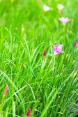 Beautiful pink flower in garden — Stock Photo