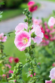 Beautiful pink flower in garden — Stock Photo