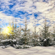 Fir-tree in the winter forest — Stock Photo