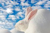 Weißes kaninchen auf die wintersonne aufwärmen — Stockfoto