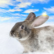 Stock Photo: Grey rabbit run on snow