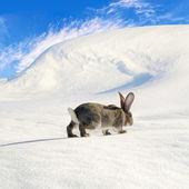 Grey rabbit walking on the snow-bound hill — Stock Photo