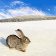 Wild hare on the winter field — Stock Photo