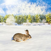 Grey rabbit run to the winter forest — Stock Photo