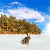 Wild hare run to the coniferous forest — Stock Photo