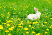 White rabbit on the dandelion meadow — Stockfoto