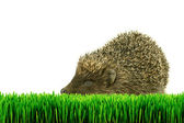 Hedgehog on the grass isolated — Stock Photo
