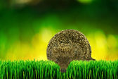 Hedgehog on the garden grass — Stock Photo