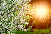 Cherry flowering on the sunset — Stock Photo