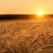 Wheat field on sunset — Stock fotografie