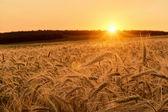 Wheat field on sunset — Stock Photo