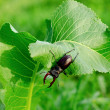 Beetle on the horseradish — Stock Photo