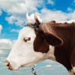 Farm cow on the sky background — Stock Photo