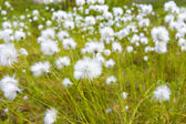 Glade of white dandelions — Stock Photo