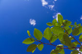 Green foliage against the sky — Stock Photo