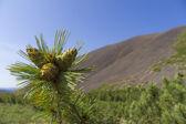 Cones of a cedar stlannik — Stock Photo