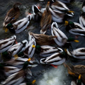 Ducks in the water — Stock Photo