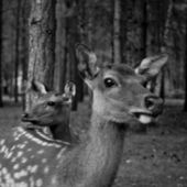 Two Fallow deer standing — Stock Photo