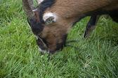 Happy Goat — Stock Photo