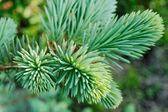 Blue spruce — Stock Photo