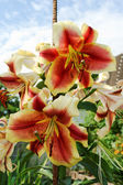 The couple lily flowers in the summer garden — Stock Photo