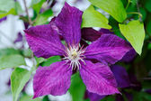 Purple clematis close-up — Stock Photo