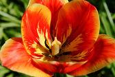 Primer plano amarillo rojo tulipán — Foto de Stock