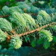 Branch of the blue spruce — Stock Photo