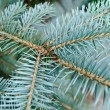 Blue needles on the young branch of the spruce — Stockfoto