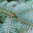 Blue needles on the young branch of the spruce — Stock fotografie