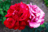 Couple of the red and pink roses — Stock Photo